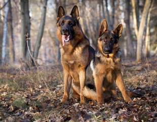 two German Shepherd Dogs sitting  at autumn background