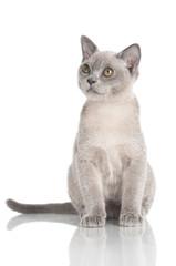 burmese kitten sitting on white