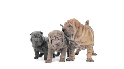 Three shar pei puppies standing and looking around