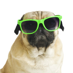 pug with sunglasses.