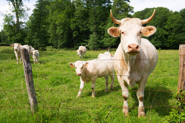 French white cows