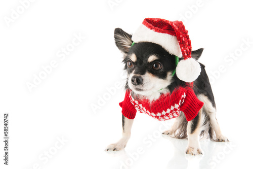 Black Chihuahua for Christmas