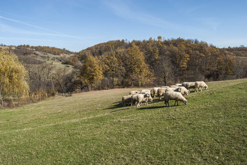 Herd of sheep on mountain pasture in sunny autumn day