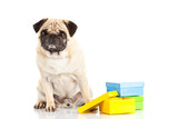 pug dog boxes isolated on white background, gift