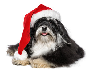 Beautiful Christmas Havanese dog with Santa hat and white beard