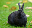 Black rabbit portrait