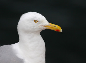 Herring Gull Profile