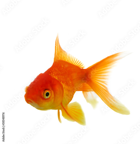 Red fish on white c