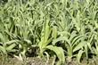 Allium porrum, Poireau, Blaustar