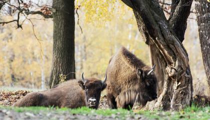 Herd of wild European bison (Bison bonasus) in autumn deciduous