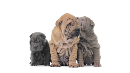 Three shar pei puppies sitting and looking around