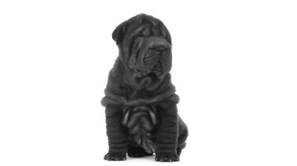 Shar pei puppy sitting and looking around