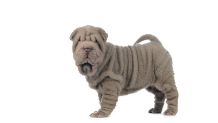 Sharpei puppy standing and looking around