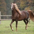 Gorgeous arabian stallion with long flying mane