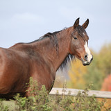Perfect arabian horse on pasturage in autumn