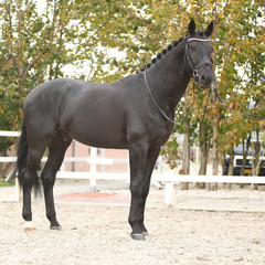 Beautiful dutch warmblood with perfect hair style