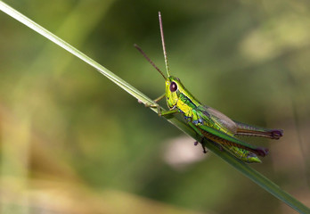 Green locust relaxing