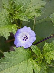 Nicandra physalodes plant (shoo fly)