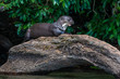Giant otter standing on log in the peruvian Amazon jungle at Mad