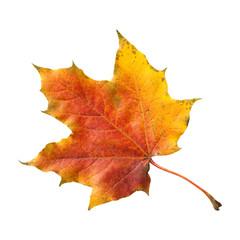 Ahornblatt, Ahornbaum, Herbstblaetter;