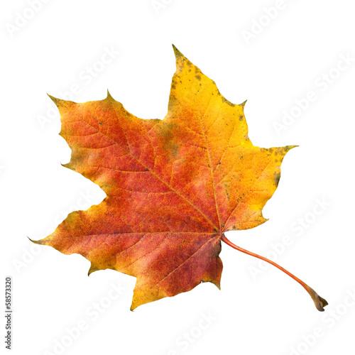 canvas print picture Ahornblatt, Ahornbaum, Herbstblaetter;