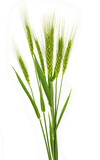 green ears of wheat isolated