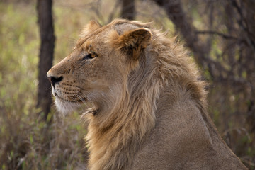 Young male Lion, Kruger National Park