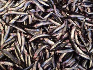 Küçük ancak besin değeri büyük olan balık Hamsi