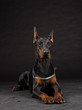 Doberman Pinscher portrait on black. Studio shot of female dog.