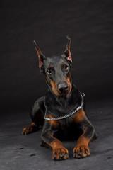 Doberman Pinscher portrait on black. Studio shot of female dog.