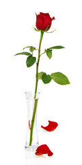 Red rose in vase and two petals