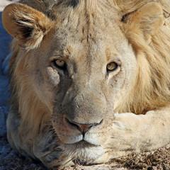 Löwe im Etosha Nationalpark. Namibia