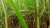 Walking through a sugarcane field with a steadycam