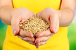 Wheat grain in female hands on natural background