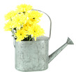 Yellow chrysanthemum flowers in watering can isolated on white