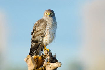 Northern Harrier, Marsh Hawk, Male