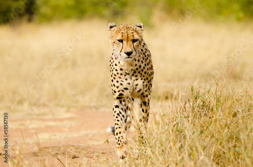 Cheetah Walking in a South Africa Savannah, Kruger National Park