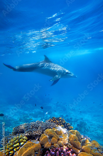 Dolphind and Corals