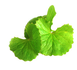 Medicinal thankuni leaves of Indian subcontinent