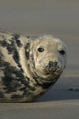 Grey seal, Halichoerus grypus