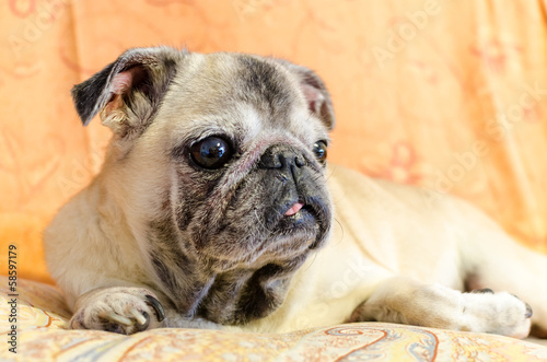 Cute old female pug