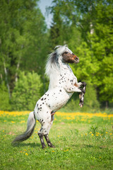 Appaloosa stallion rearing up on the meadow in summer time