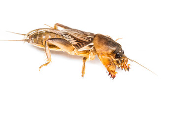 Isolated Mole Cricket