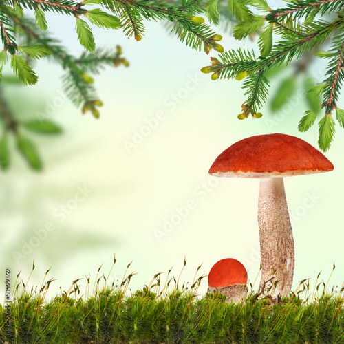orange-cap boletus under green fir branches