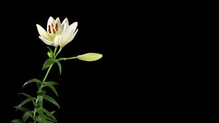 Blooming white lily on the black background (Lilium monadelphum