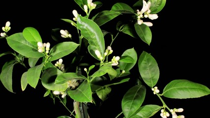 Lemon blossoms on the black background (Citrus limon L.) timelap