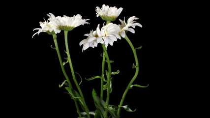 Blooming white daisies on the black background (Leucanthemum) ti