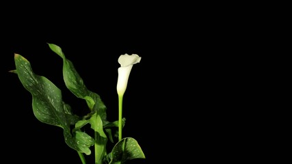 Blooming white calla on the black background (Calla Zantedeschia