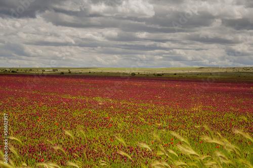 Parco  Nazionale  Alta Murgia: campo di fiori viola. - PUGLIA -