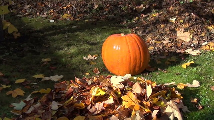 Huge ripe orange pumpkin in garden and colorful autumn leaf fall